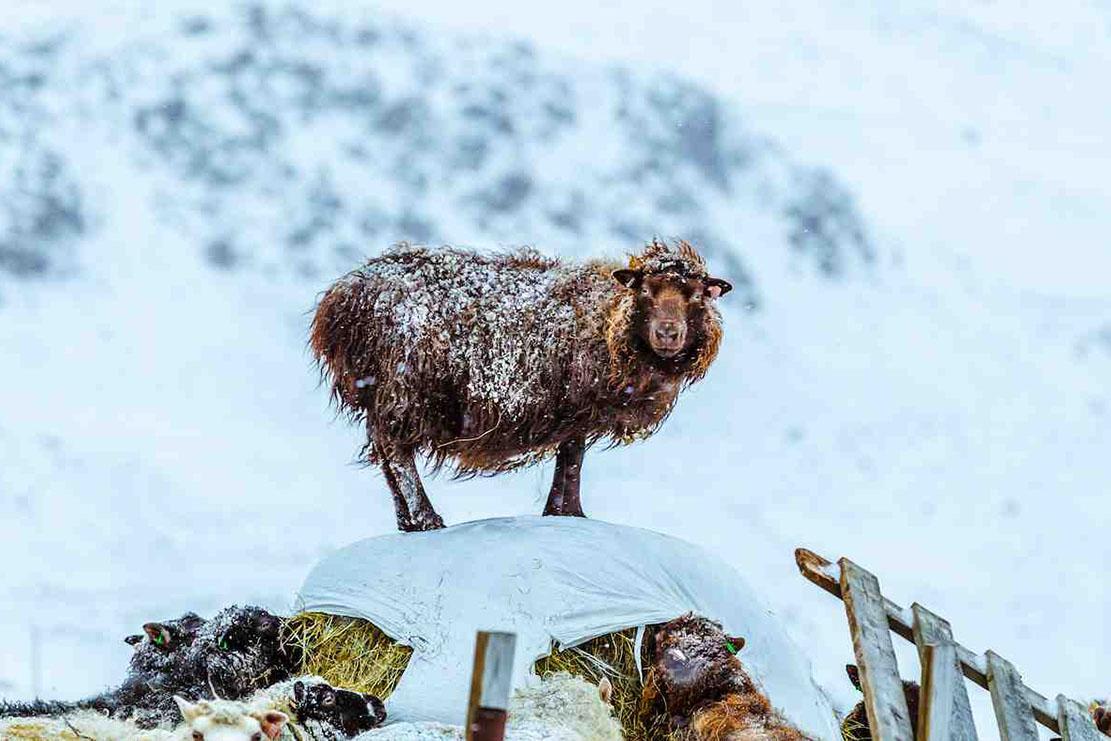 Pecore in Islanda